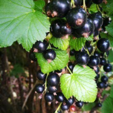 Fruit and Blackcurrants